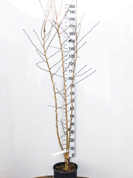 pianta di Crataegus x grignonensis in vaso da 24 cm