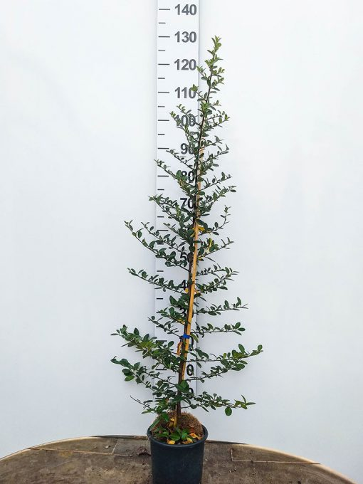 pianta di Pyracantha coccinea in vaso da 16/18 cm