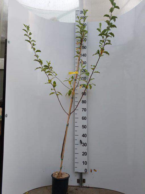 Eleagnus umbellata vaso 18 cm
