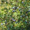 Bacche di Prunus Spinosa