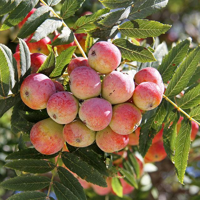 Frutti di Sorbus Domestica