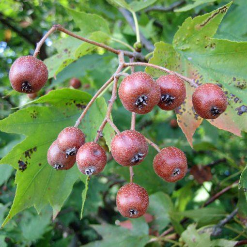 bacche di Sorbus torminalis