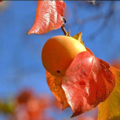 """frutto di Diospyros kaki """"mela"""""""