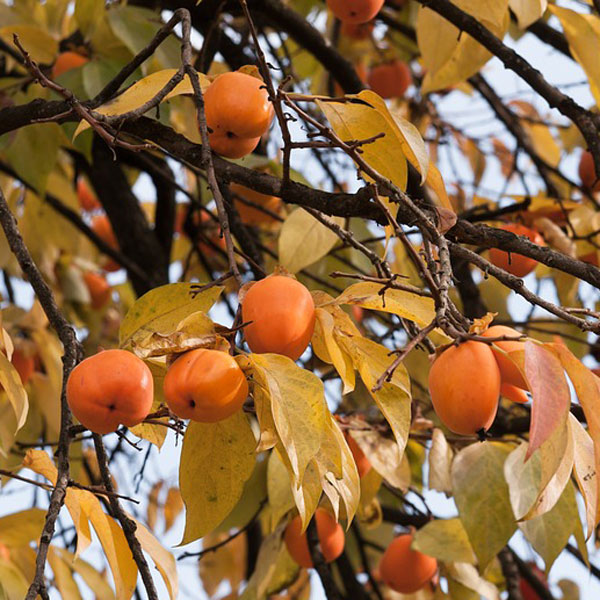 frutti di Diospyros kaki