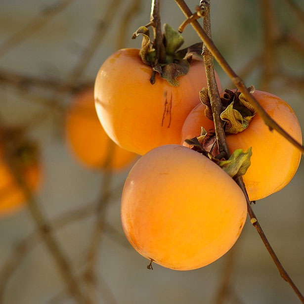 """frutto di Diospyros kaki """"vaniglia"""""""