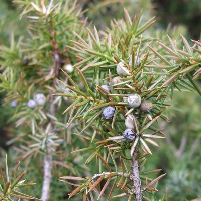 bacche di Juniperus communis (ginepro)