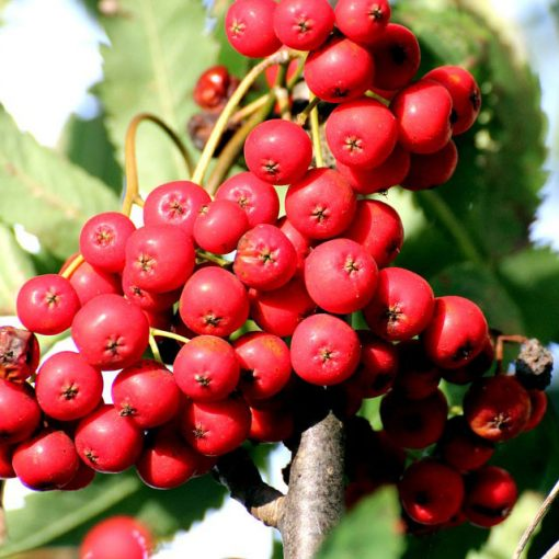 bacche di Sorbus aucuparia