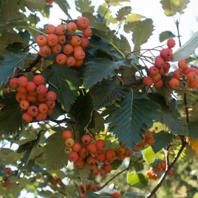 bacche da Sorbus aria